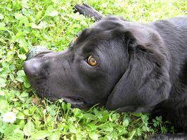 Estágios da doença renal em cães