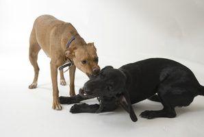 Os sintomas de uma infecção da bexiga em uma cadela