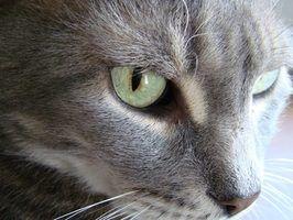Os sintomas de uma concussão gato