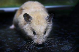 Os sintomas de um acidente vascular cerebral em um hamster