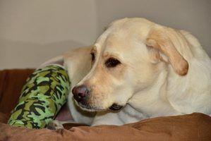 Os sintomas da puxado músculos em cães