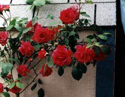 Os melhores rosas de escalada para texas