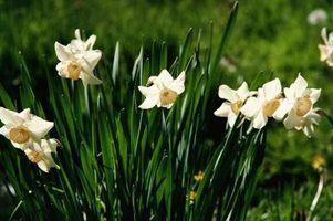 As melhores flores para usar como uma fronteira de calçadas