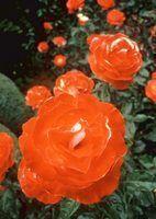 A melhor pulverizador caseiro para manchas pretas em rosas