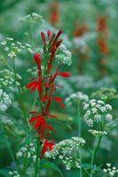 As melhores plantas perenes para um clima utah