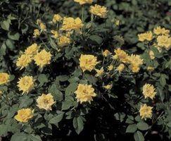 Os melhores rosas para cobertura do solo