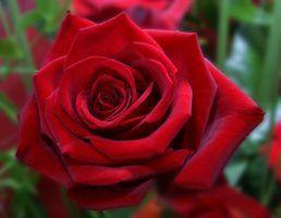 Os melhores rosas para a zona 5
