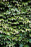 Boston Ivy é uma planta trepadeira robusta que prospera em muitas zonas.