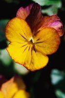 As melhores flores anuais de inverno na califórnia