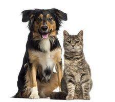 Os perigos de um cão comer comida de gato