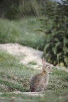 Os perigos de comer coelho selvagem