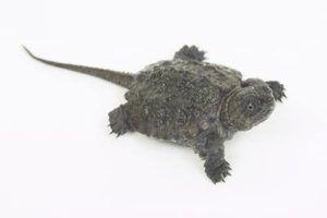 A diferença entre uma tartaruga de agarramento do jacaré & a tartaruga de agarramento comum