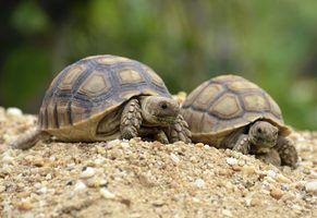 A diferença entre o macho & tartarugas sulcata do sexo feminino