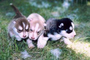 Os diferentes tipos de huskies siberianos
