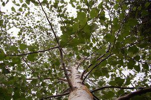 As desvantagens de madeira cinzas