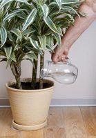 Os efeitos da água da torneira ou água engarrafada no crescimento das plantas