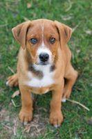 Os efeitos de fenobarbital em cães