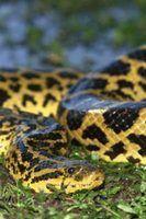 O habitat de anacondas