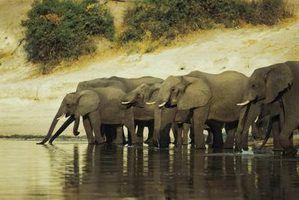 Os hábitos de migração de elefantes africanos