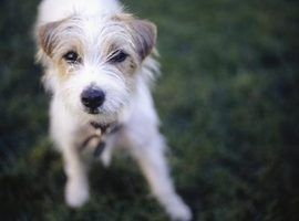 Os tipos de russell terriers