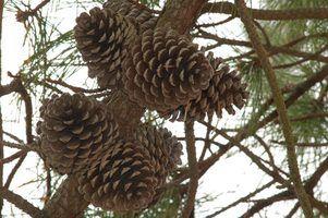 Coisas para fazer de pinhas