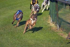 Dicas sobre ganhar em raças de cães