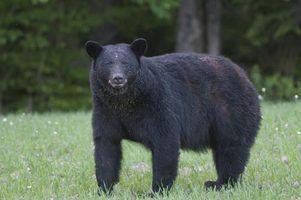 Os cinco melhores locais de caça do urso preto