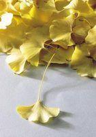 Árvores com as folhas em forma de leque e frutos pequenos