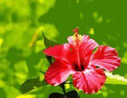 Flores tropicais de jamaica