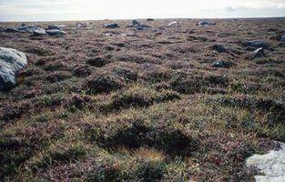Arbustos na tundra