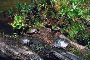 Tartarugas nativas para maryland