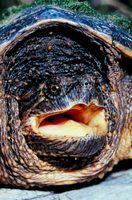 Tartarugas de colorado