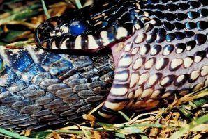 Tipos de serpentes pretas e amarelas