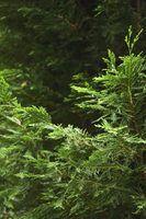 Tipos de árvores de cedro com pequenos cones