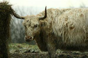 Tipos de vacas com longos cabelos brancos