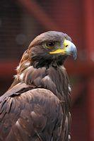 Tipos de falcões encontrados no colorado norte