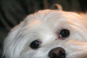 Tipos de cães malteses