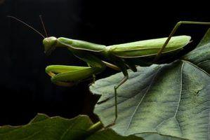 Tipos de mantis em wisconsin