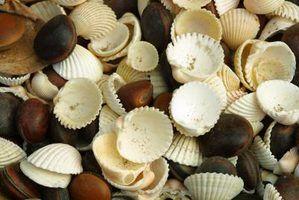 Tipos de conchas do mar encontradas na costa de new jersey
