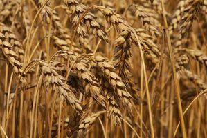 Tipos de grãos de trigo