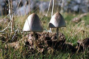 Tipos de cogumelos brancos que crescem em gramados