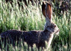 Tipos de coelhos selvagens em texas
