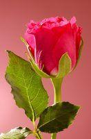 Usa para pétalas de rosas secas