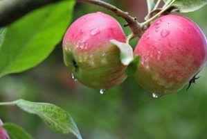Usa-se para maçãs honeycrisp