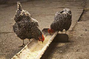 Legumes que as galinhas comem
