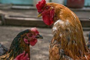 Maneiras de dizer se minhas galinhas são do sexo masculino ou feminino com 10 semanas de idade