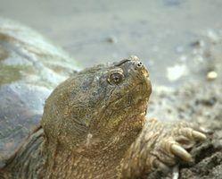 Que adaptações que uma tartaruga agarrando tem?