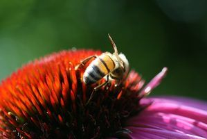Que adaptações que a abelha precisa para sobreviver?