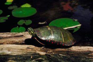 Que adaptações que a tartaruga tem que ajudar a sobreviver no bioma de água doce?
