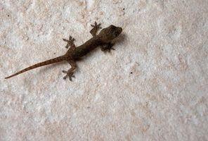 Que animais atacam lagartixas?
